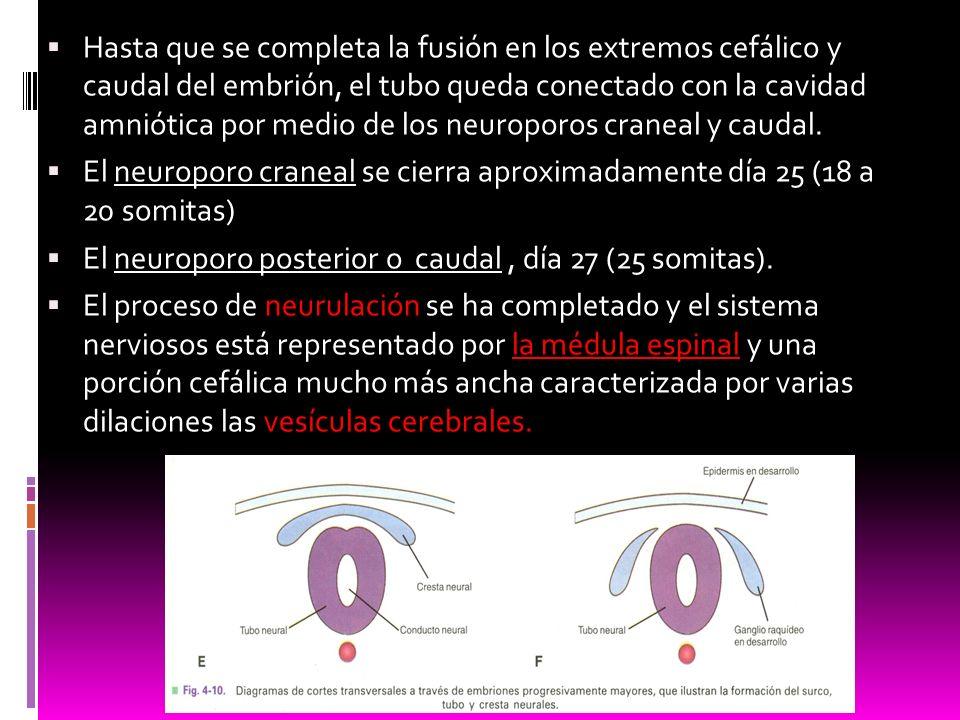 Hasta que se completa la fusión en los extremos cefálico y caudal del embrión, el tubo queda conectado con la cavidad amniótica por medio de los neuroporos craneal y caudal.