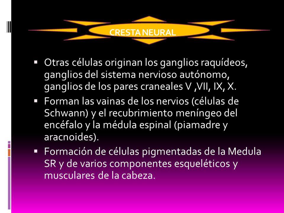 CRESTA NEURAL Otras células originan los ganglios raquídeos, ganglios del sistema nervioso autónomo, ganglios de los pares craneales V ,VII, IX, X.