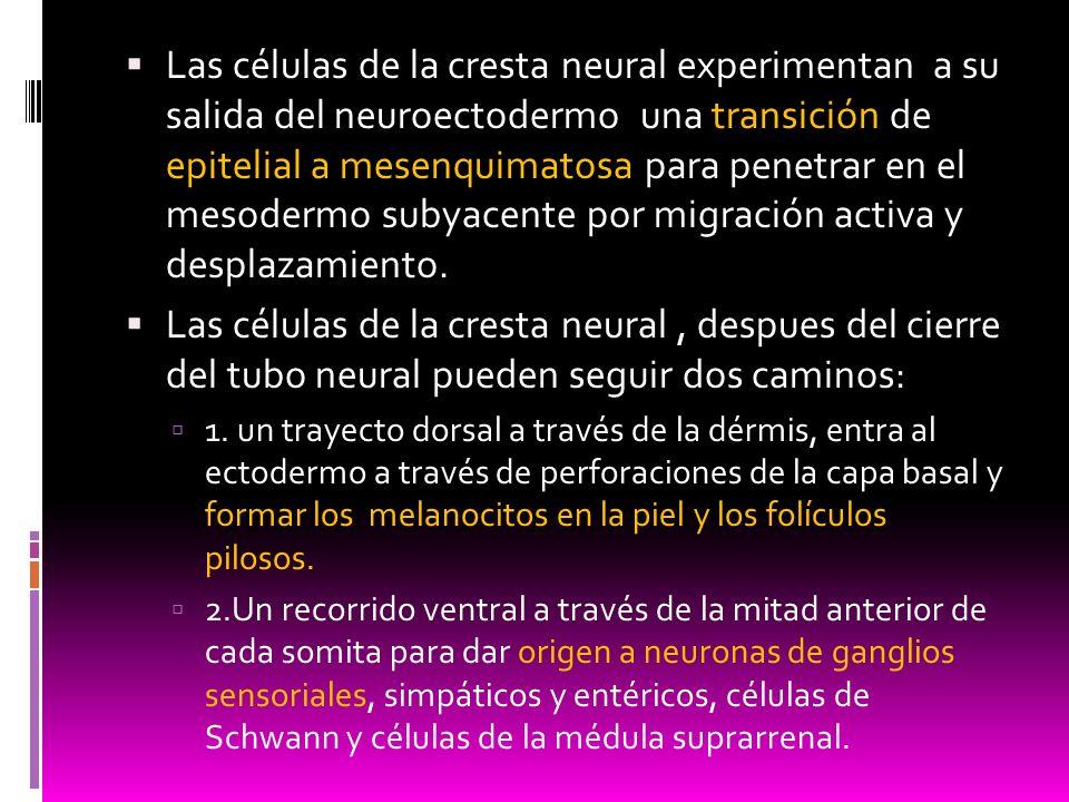 Las células de la cresta neural experimentan a su salida del neuroectodermo una transición de epitelial a mesenquimatosa para penetrar en el mesodermo subyacente por migración activa y desplazamiento.