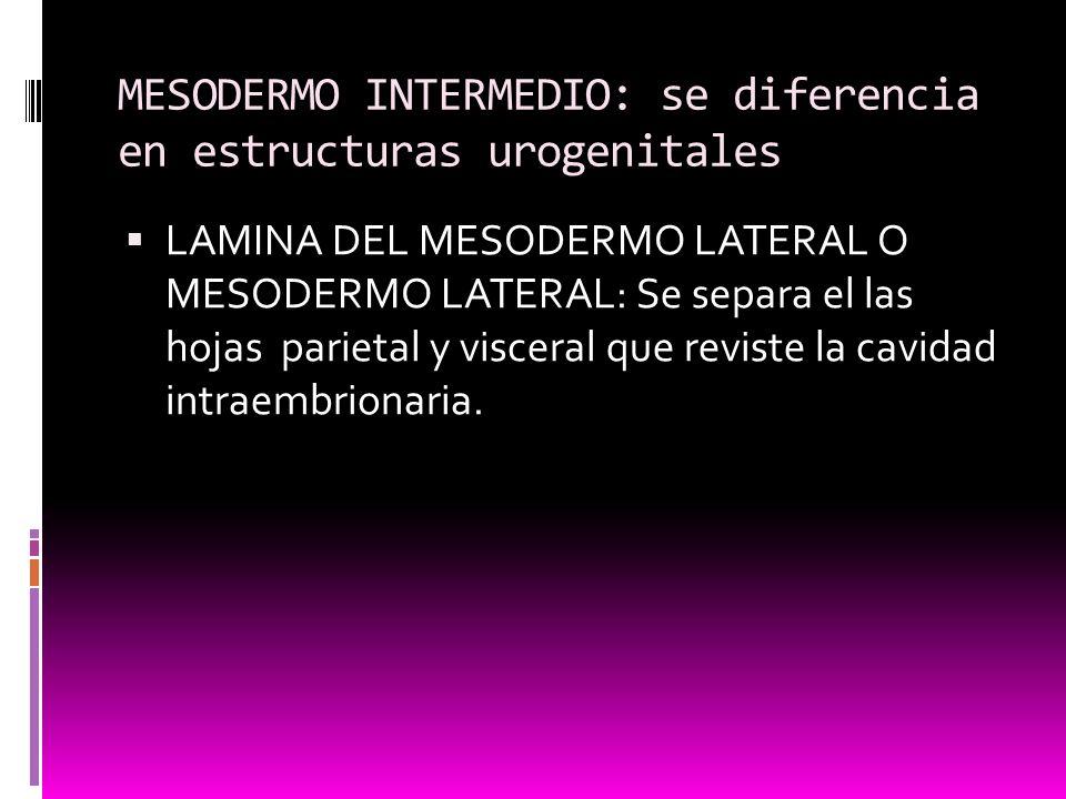 MESODERMO INTERMEDIO: se diferencia en estructuras urogenitales