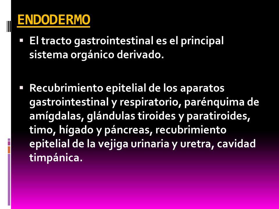 ENDODERMO El tracto gastrointestinal es el principal sistema orgánico derivado.