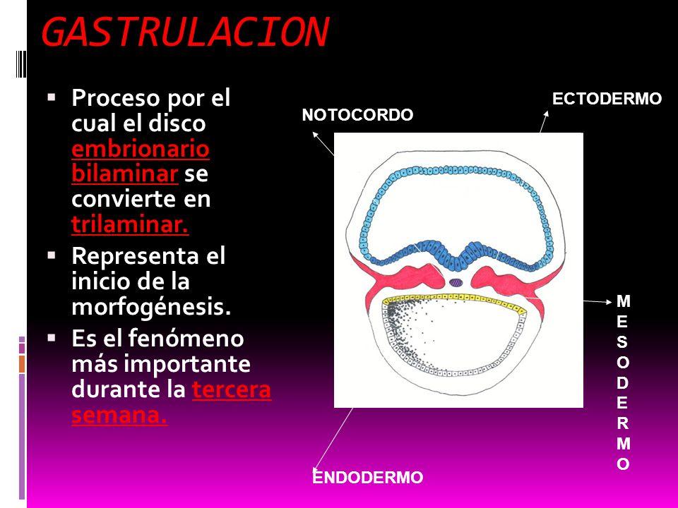 GASTRULACION Proceso por el cual el disco embrionario bilaminar se convierte en trilaminar. Representa el inicio de la morfogénesis.