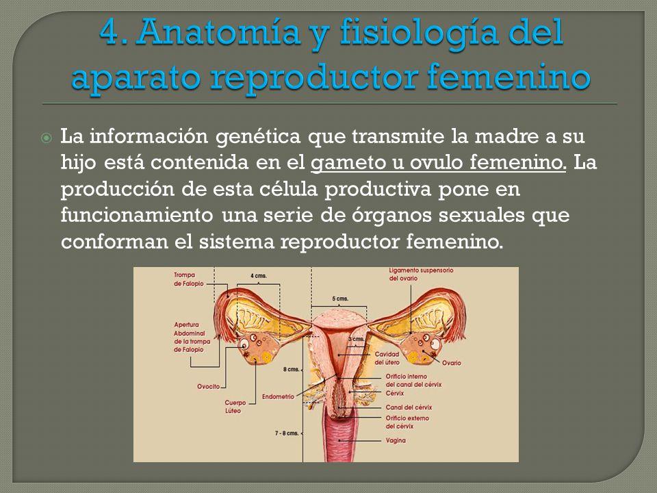 ANATOMIA Y FISIOLOGIA DEL APARATO REPRODUCTOR - ppt descargar