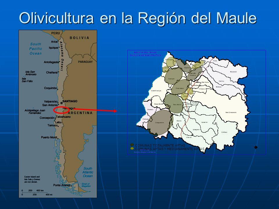 Olivicultura en la Región del Maule