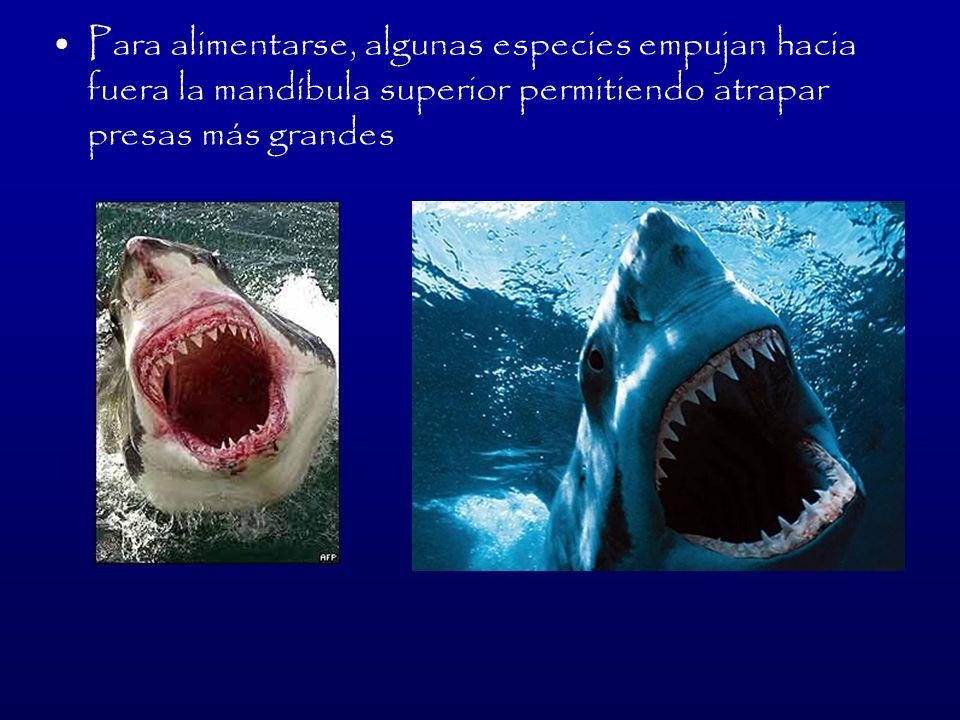 Para alimentarse, algunas especies empujan hacia fuera la mandíbula superior permitiendo atrapar presas más grandes