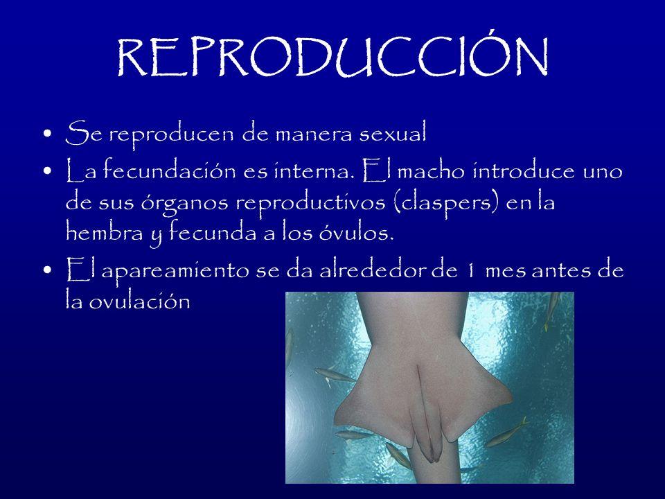 REPRODUCCIÓN Se reproducen de manera sexual