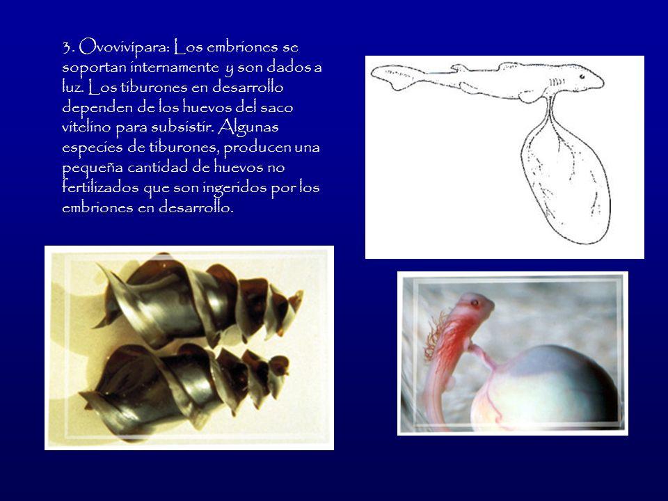 3. Ovovivípara: Los embriones se soportan internamente y son dados a luz.