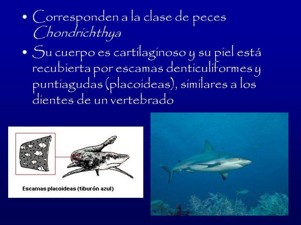 Corresponden a la clase de peces Chondrichthya