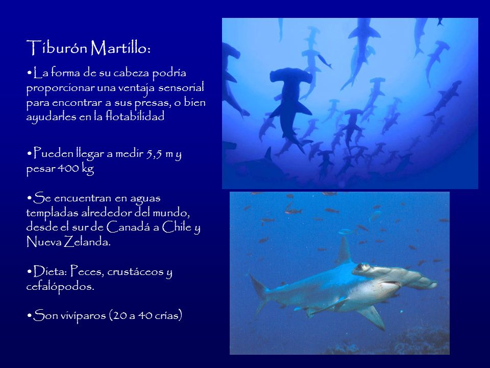 Tiburón Martillo:La forma de su cabeza podría proporcionar una ventaja sensorial para encontrar a sus presas, o bien ayudarles en la flotabilidad.