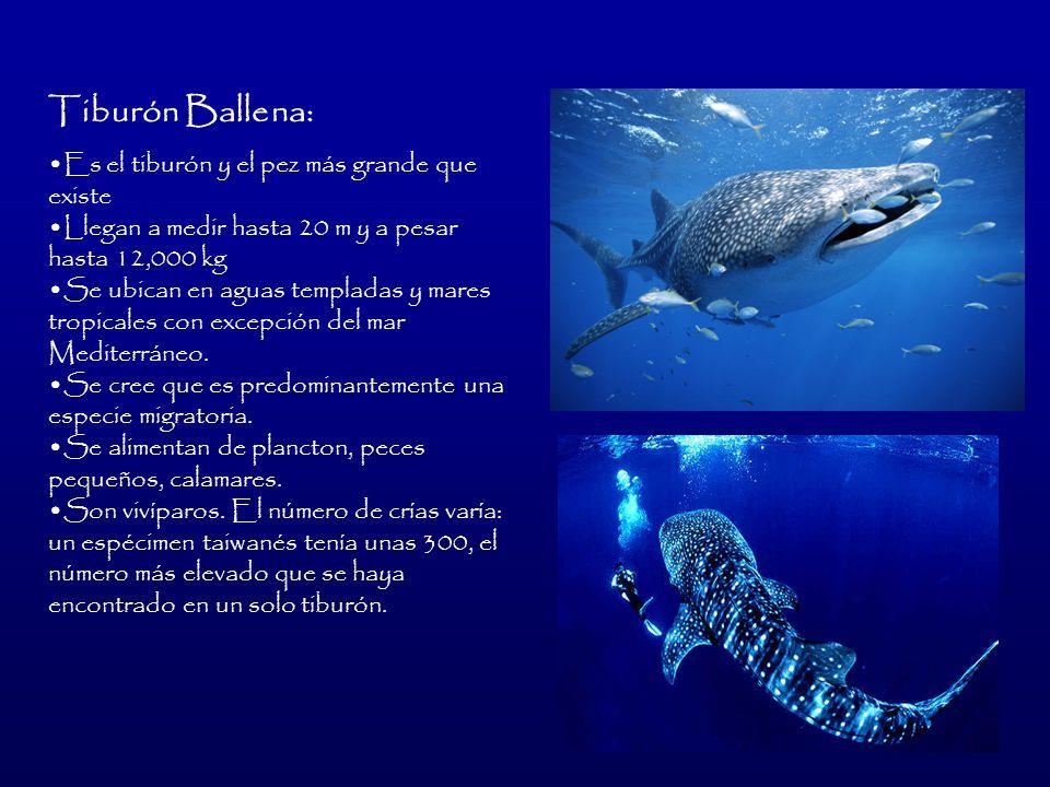 Tiburón Ballena: Es el tiburón y el pez más grande que existe