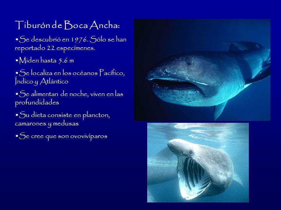 Tiburón de Boca Ancha:Se descubrió en 1976. Sólo se han reportado 22 especímenes. Miden hasta 5.6 m.