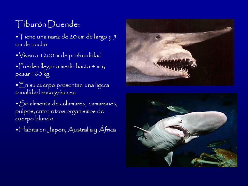 Tiburón Duende: Tiene una nariz de 20 cm de largo y 5 cm de ancho