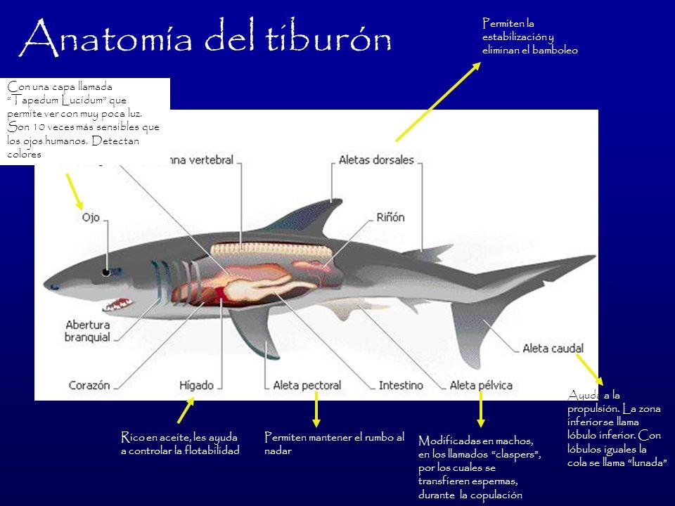 Anatomía del tiburón Permiten la estabilización y eliminan el bamboleo