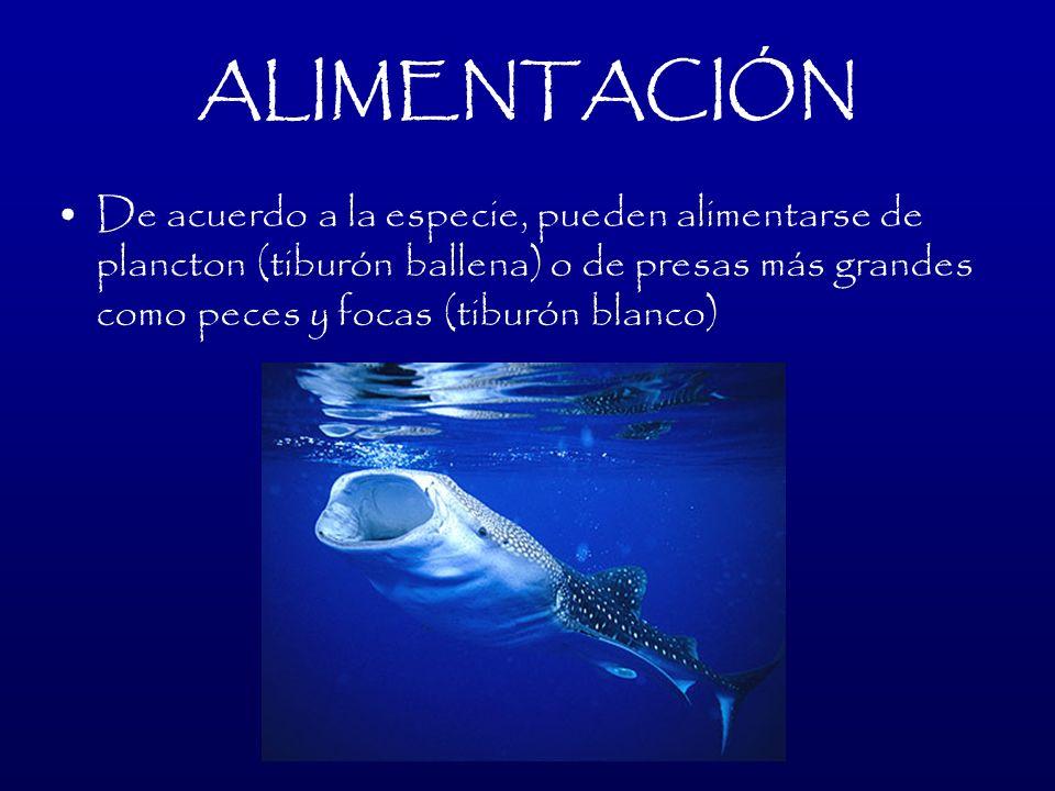 ALIMENTACIÓNDe acuerdo a la especie, pueden alimentarse de plancton (tiburón ballena) o de presas más grandes como peces y focas (tiburón blanco)