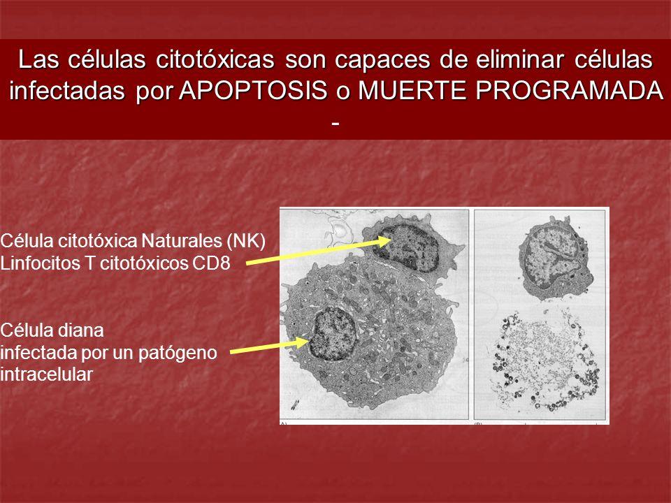 Las células citotóxicas son capaces de eliminar células infectadas por APOPTOSIS o MUERTE PROGRAMADA -