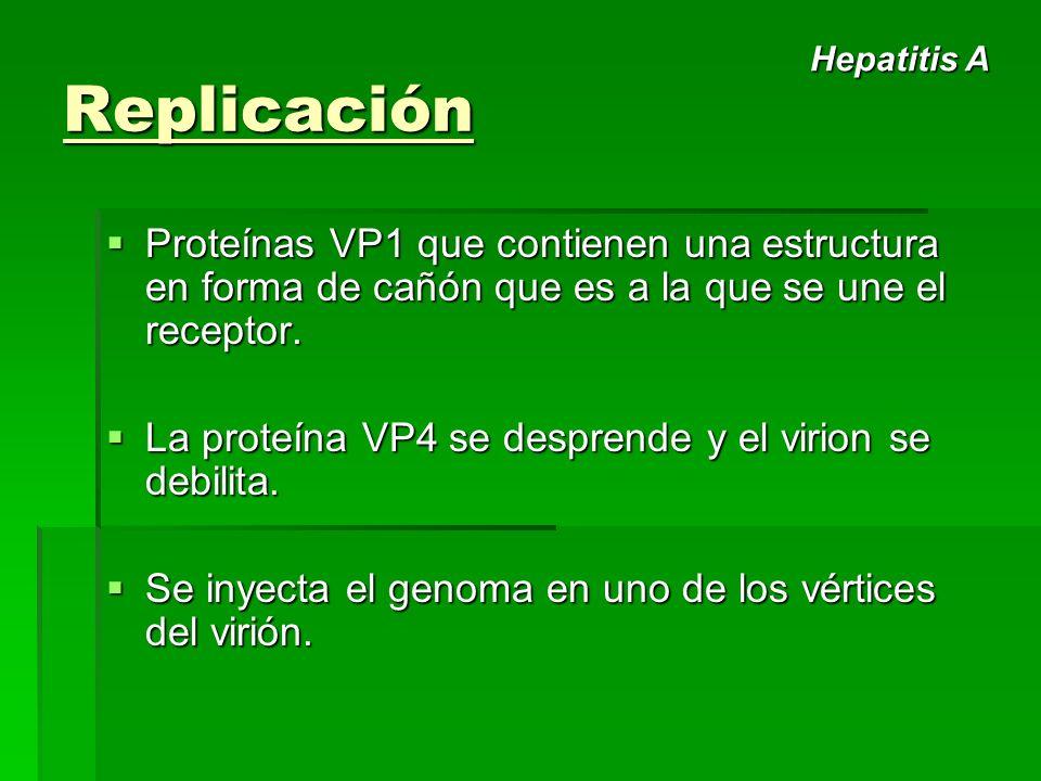 Replicación Hepatitis A. Proteínas VP1 que contienen una estructura en forma de cañón que es a la que se une el receptor.