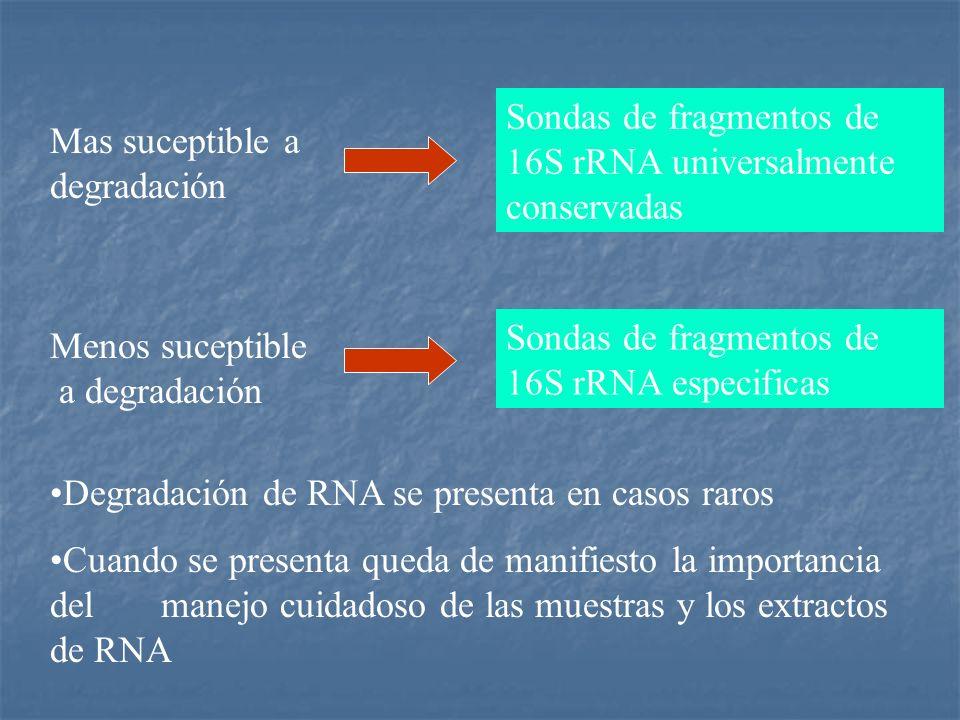 Sondas de fragmentos de 16S rRNA universalmente conservadas
