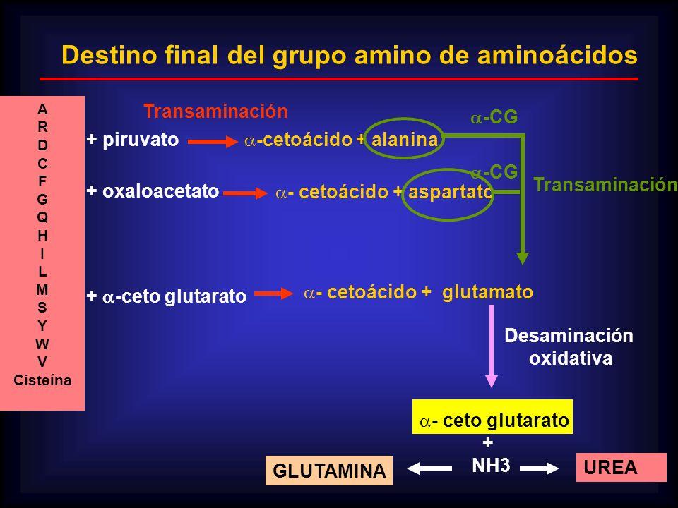 Destino final del grupo amino de aminoácidos