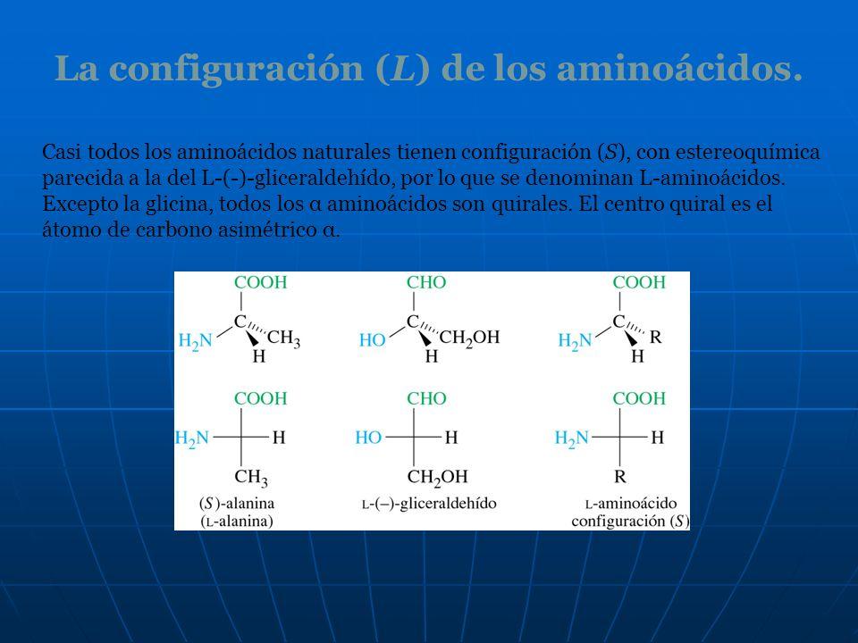 La configuración (L) de los aminoácidos.