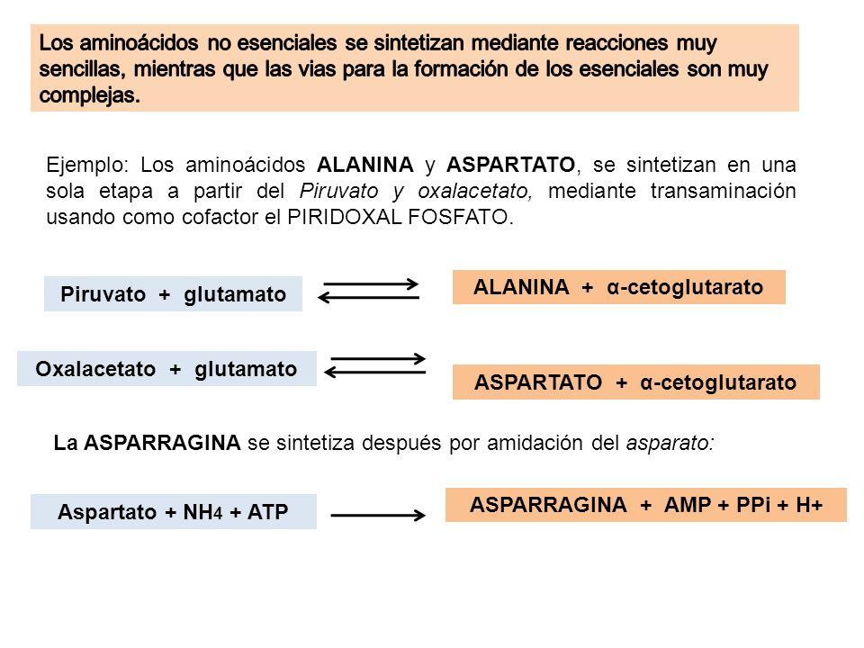 ALANINA + α-cetoglutarato Piruvato + glutamato