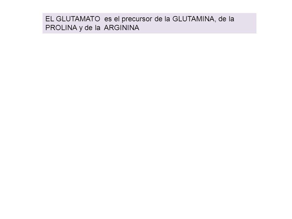 EL GLUTAMATO es el precursor de la GLUTAMINA, de la PROLINA y de la ARGININA