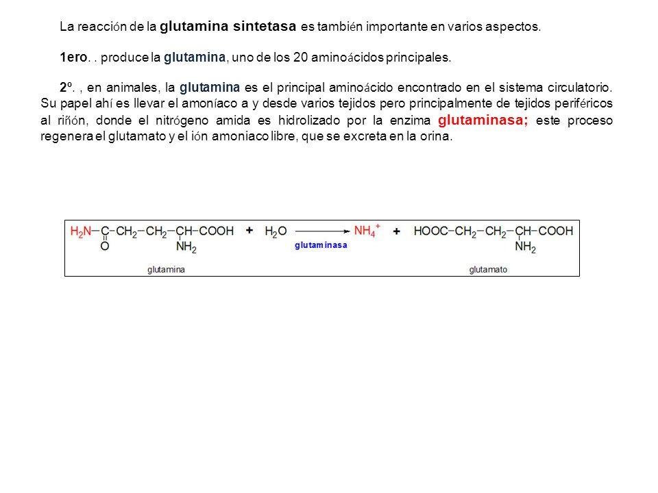 La reacción de la glutamina sintetasa es también importante en varios aspectos.