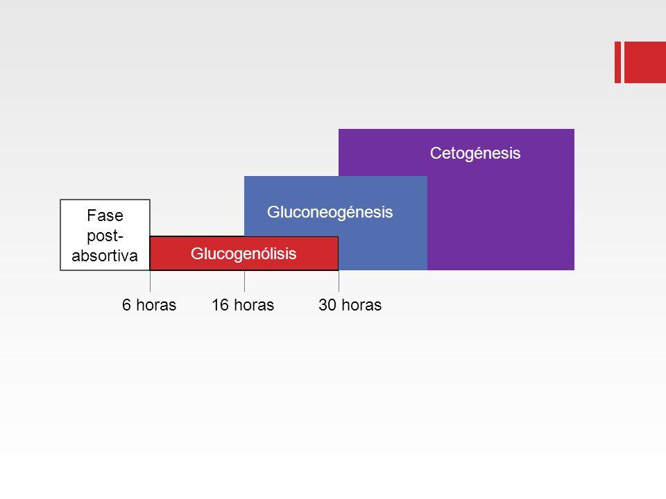 Cetogénesis Fase post-absortiva Gluconeogénesis Glucogenólisis 6 horas 16 horas 30 horas