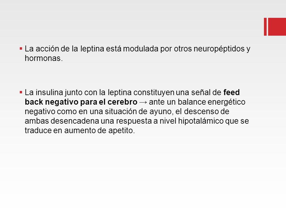 La acción de la leptina está modulada por otros neuropéptidos y hormonas.