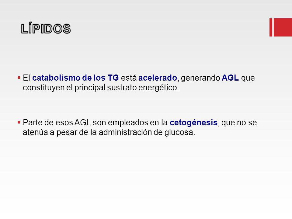 LÍPIDOS El catabolismo de los TG está acelerado, generando AGL que constituyen el principal sustrato energético.