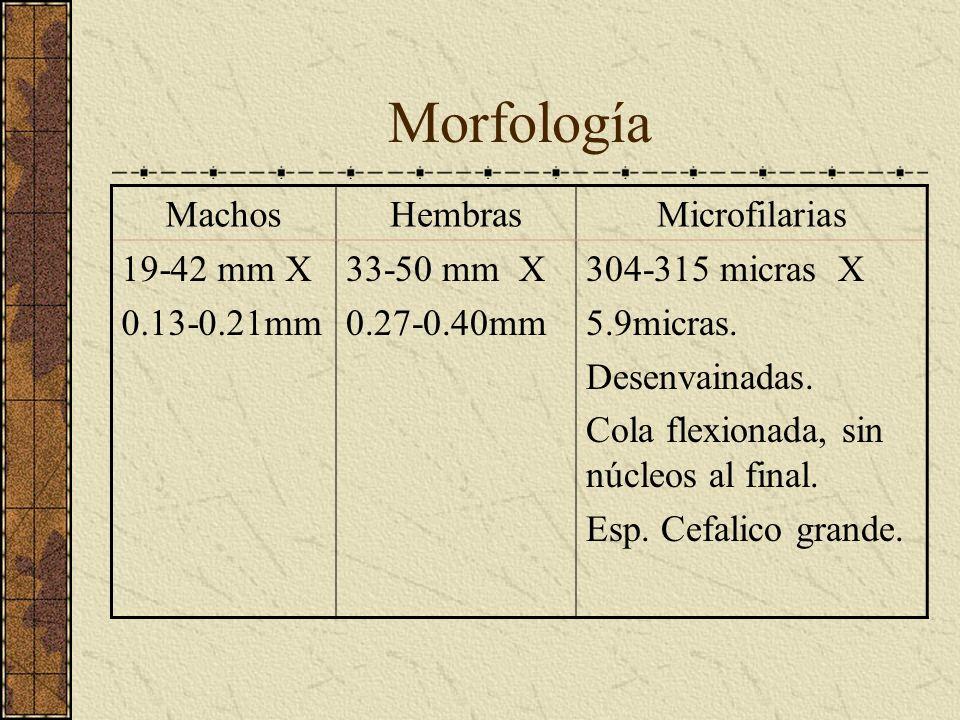 Morfología Machos Hembras Microfilarias 19-42 mm X 0.13-0.21mm