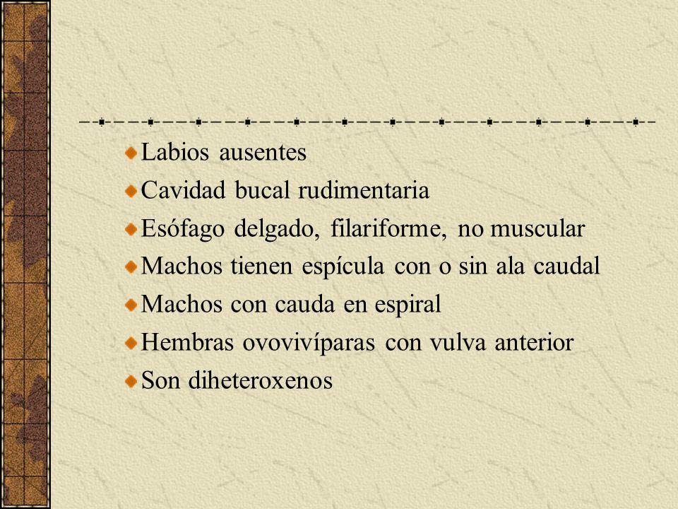 Labios ausentes Cavidad bucal rudimentaria. Esófago delgado, filariforme, no muscular. Machos tienen espícula con o sin ala caudal.