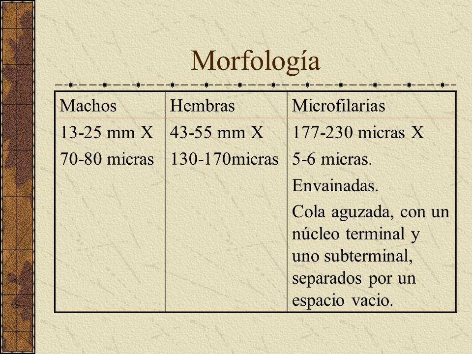 Morfología Machos Hembras Microfilarias 13-25 mm X 70-80 micras
