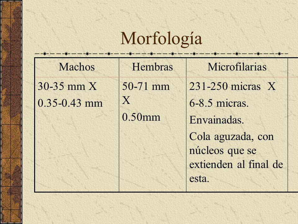 Morfología Machos Hembras Microfilarias 30-35 mm X 0.35-0.43 mm