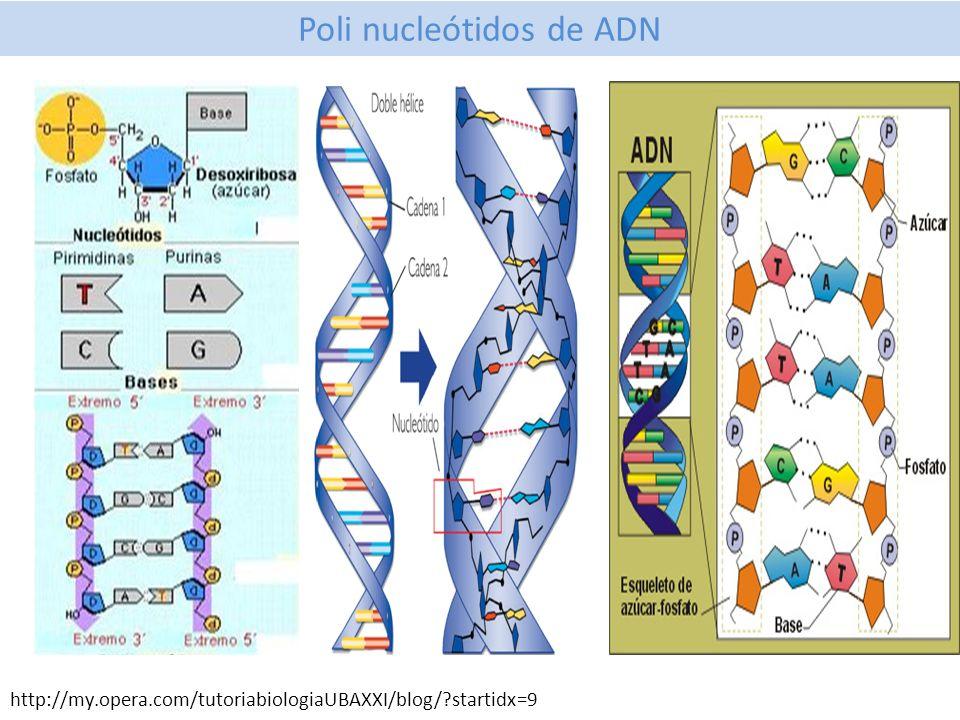 Poli nucleótidos de ADN