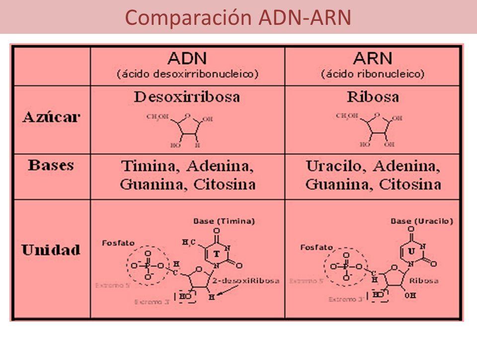 Comparación ADN-ARN