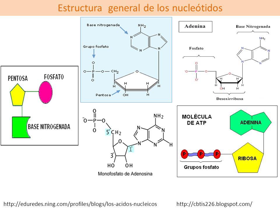 Estructura general de los nucleótidos