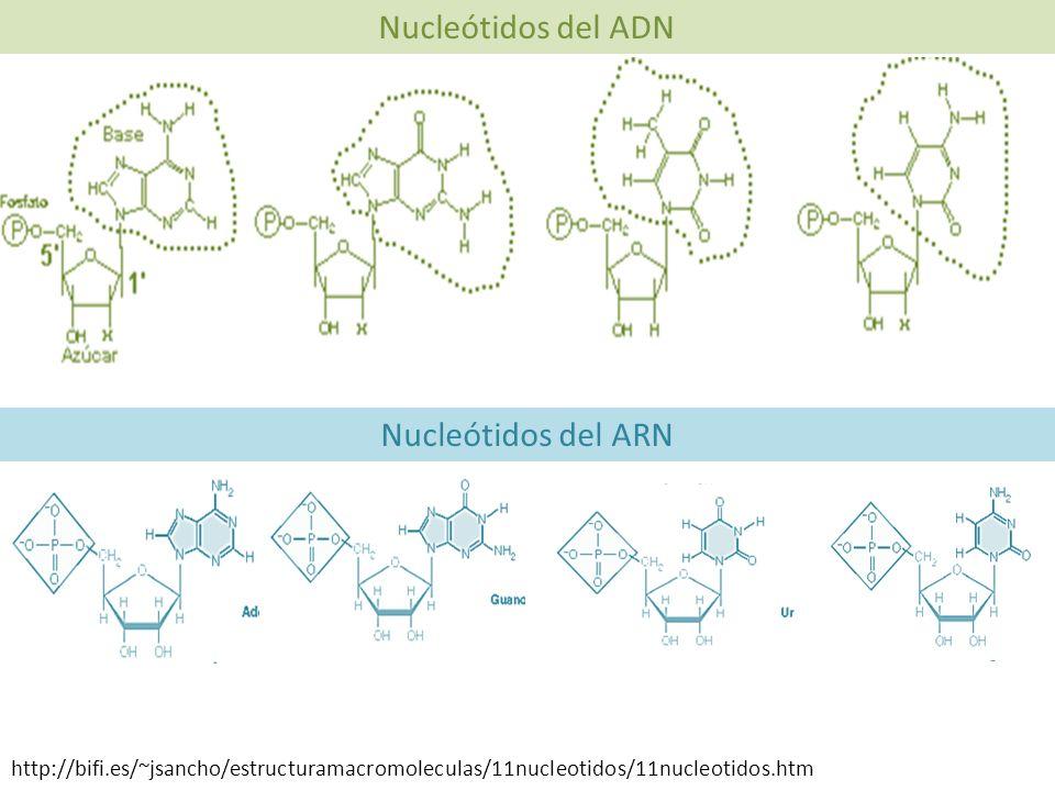 Nucleótidos del ADN Nucleótidos del ARN