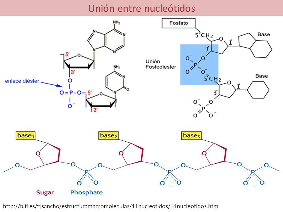 Unión entre nucleótidos