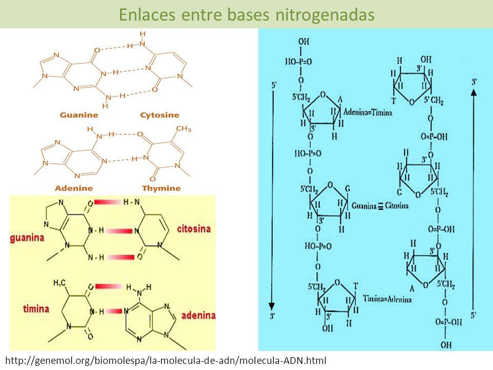 Enlaces entre bases nitrogenadas