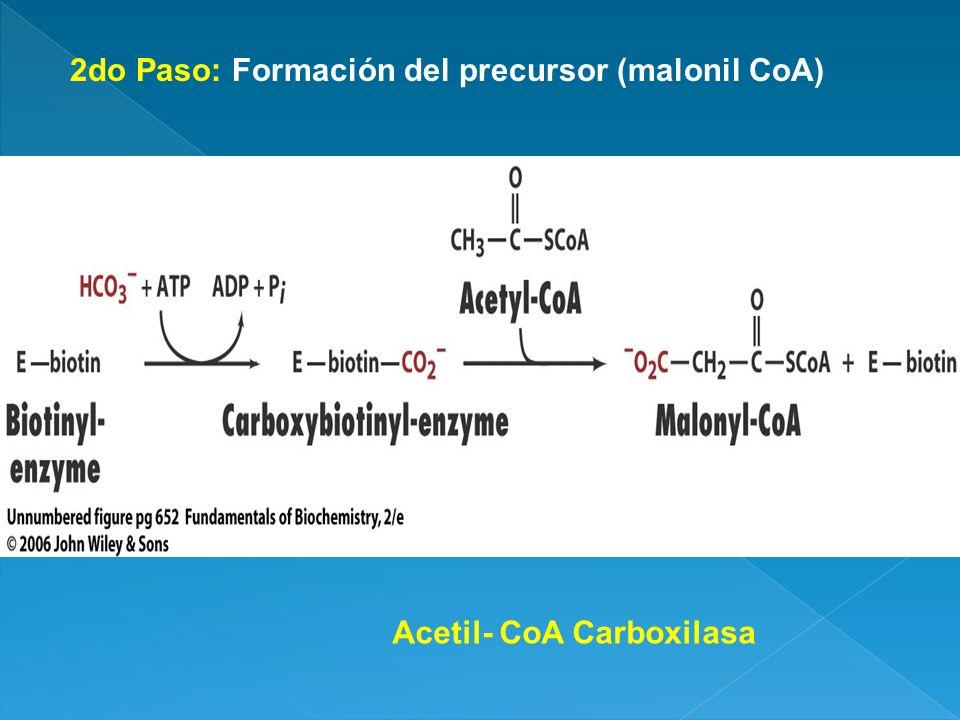 2do Paso: Formación del precursor (malonil CoA)