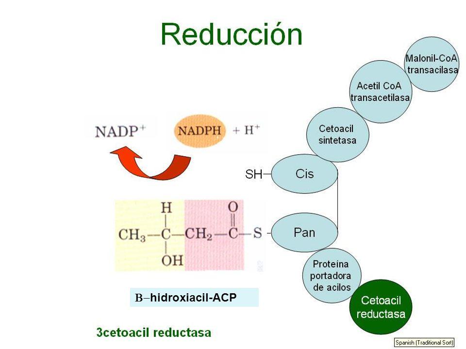 B-hidroxiacil-ACP