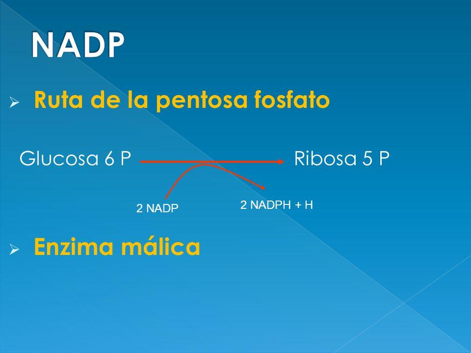 NADP Ruta de la pentosa fosfato Glucosa 6 P Ribosa 5 P Enzima málica