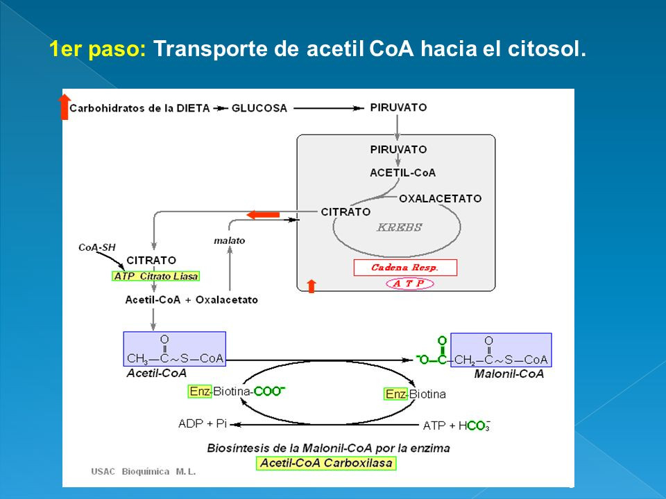 1er paso: Transporte de acetil CoA hacia el citosol.