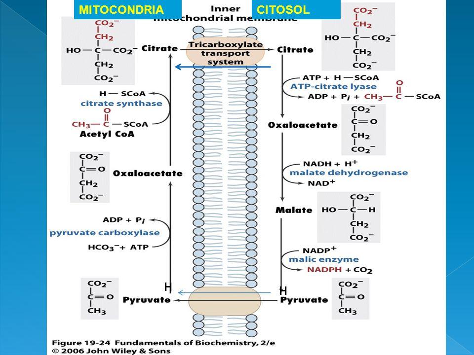 MITOCONDRIA CITOSOL H H