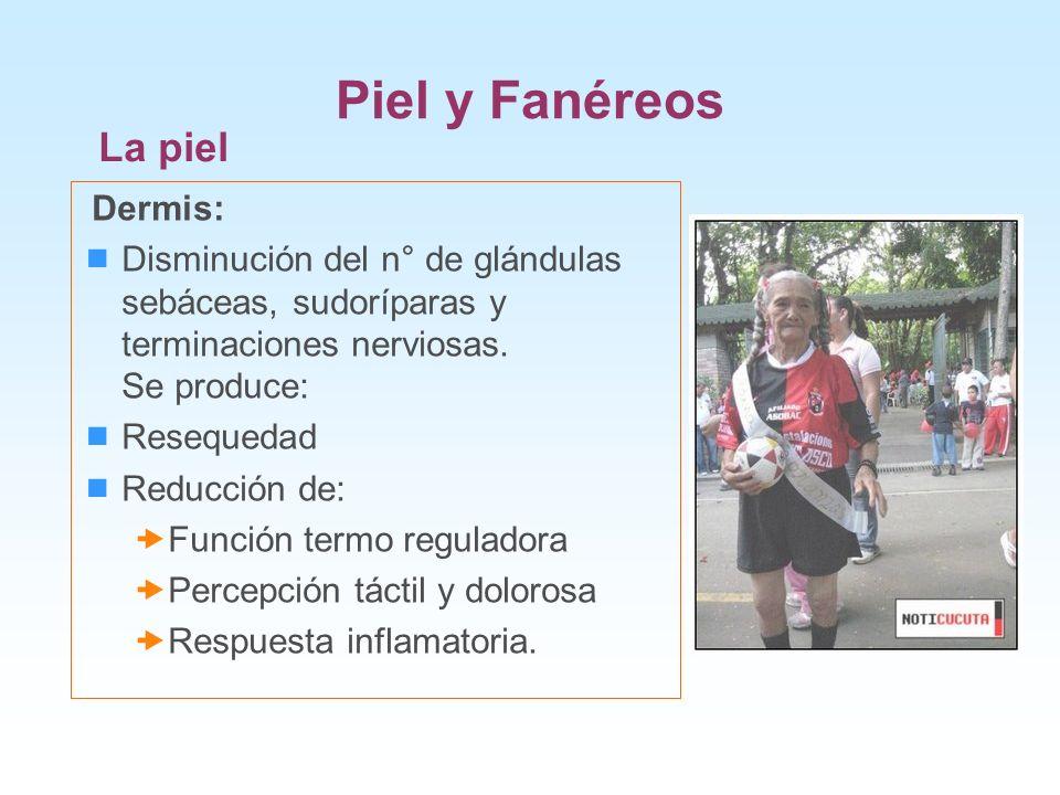 Piel y Fanéreos La piel Dermis: