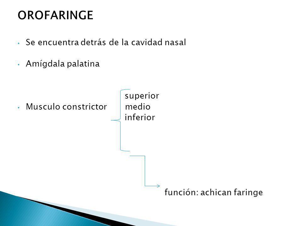 OROFARINGE Se encuentra detrás de la cavidad nasal Amígdala palatina
