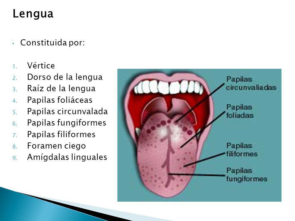 Lengua Constituida por: Vértice Dorso de la lengua Raíz de la lengua