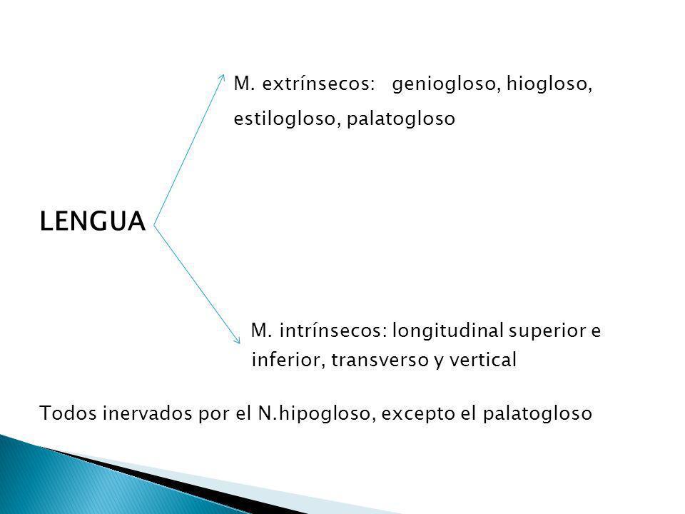 M. intrínsecos: longitudinal superior e