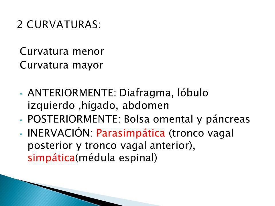 2 CURVATURAS: Curvatura menor Curvatura mayor