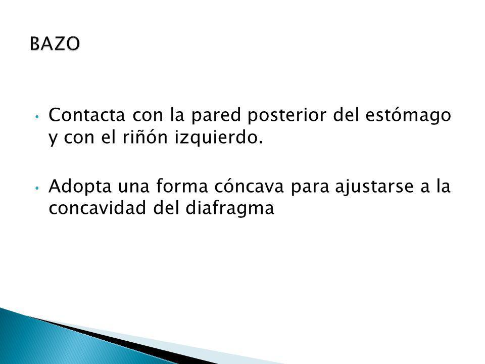 BAZO Contacta con la pared posterior del estómago y con el riñón izquierdo.